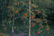A rowan tree (aka Mountain-ash) in woodland in North Somerset, UK.
