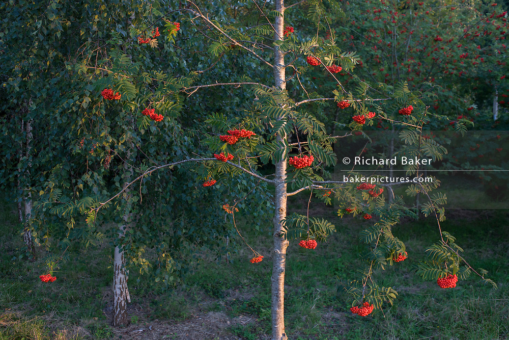 A rowan tree (aka Mountain-ash) in woodland in North Somerset, UK.