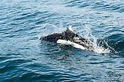 Dall's Porpoises, Auke Bay, AK