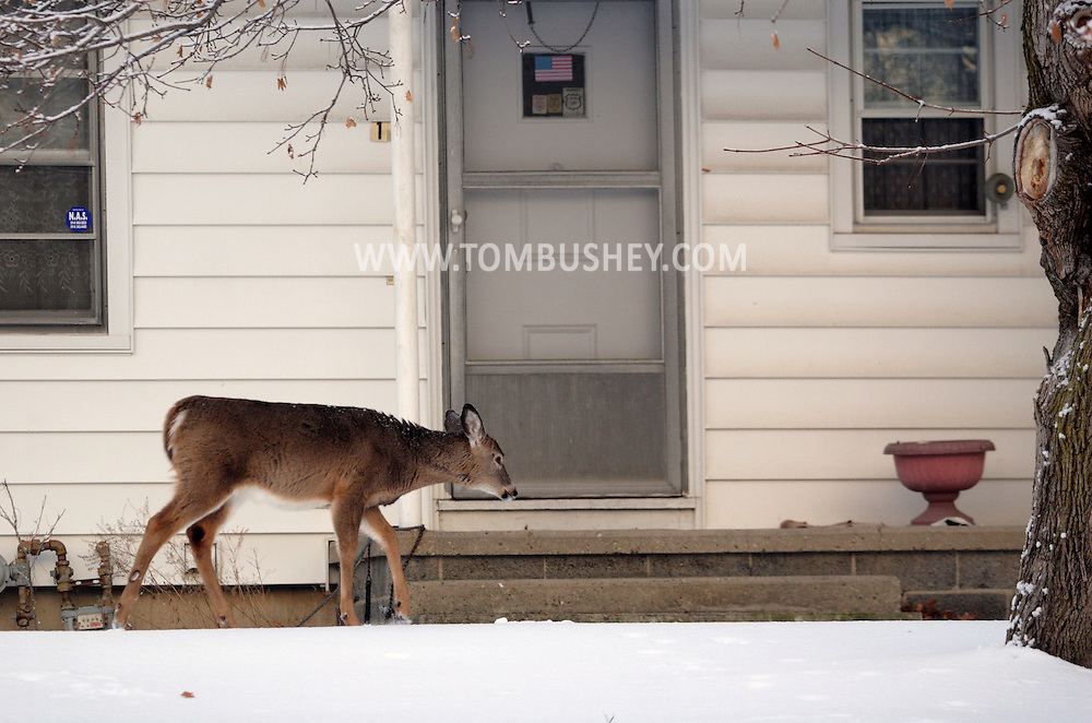 Middletown, NY - A white-tailed deer seaches for food in a suburban yard after a snowstorm on Dec. 20, 2007.