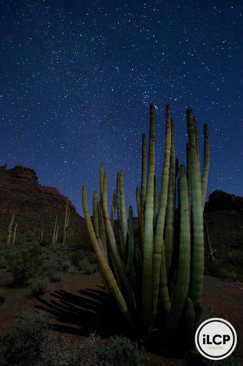 Organ pipe cactus (Stenocereus thurberi) under the stars.