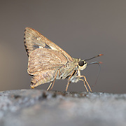 Onryza is a genus of grass skippers in the family Hesperiidae found in China and Indochina. The genus was formed by Edward Yerbury Watson in 1893. The 4 contained species are: Onryza maga, <br />