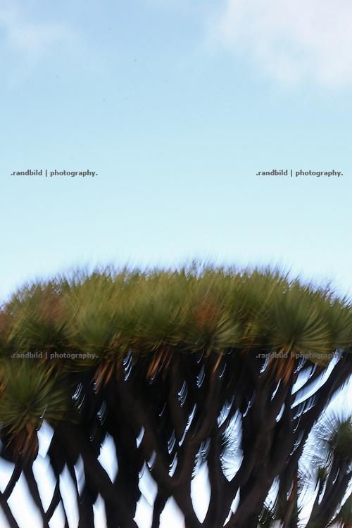 La Palma, Kanarische Inseln, Drachenbaum, Dracaena, Agavengewächs,