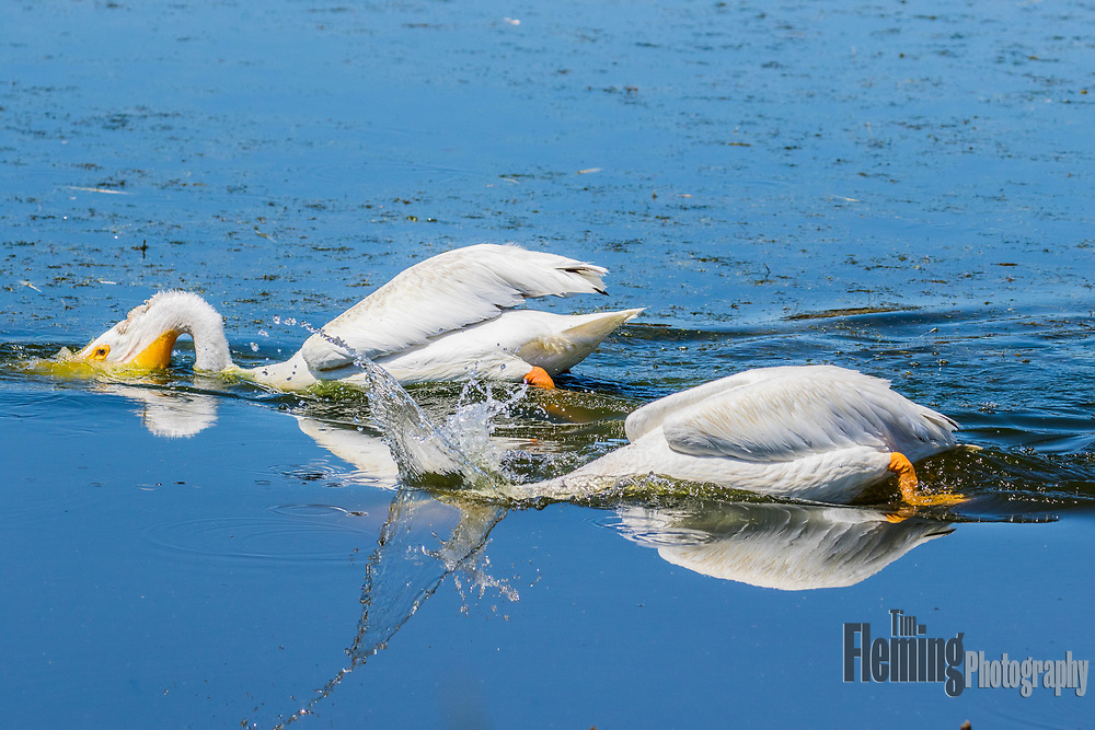 White pelicans foraging.