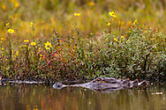 An American alligator (Alligator mississippiensis) in front of colorful autumn flowers - Water Valley, Mississippi