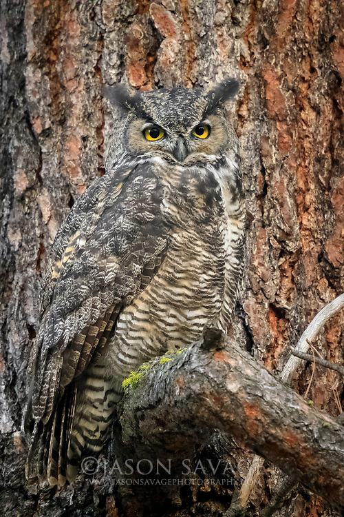 Great Horned Owl in Montana's Bitterroot Valley.