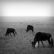Wildebeests(gnus)in the Serengeti National Park.