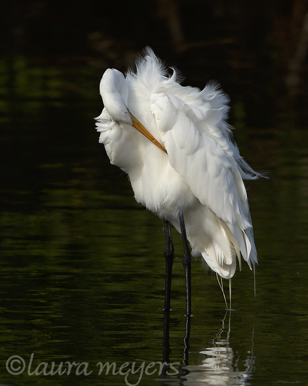 Great Egret in water preening with dark background photographed at Merritt Island National Wildlife Refuge in Florida.