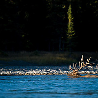 bull elk swimming river,