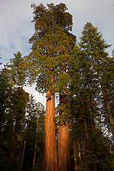 Giant Sequoia trees (Sequoiadendron giganteum), Sequoia National Park, California, United States of America