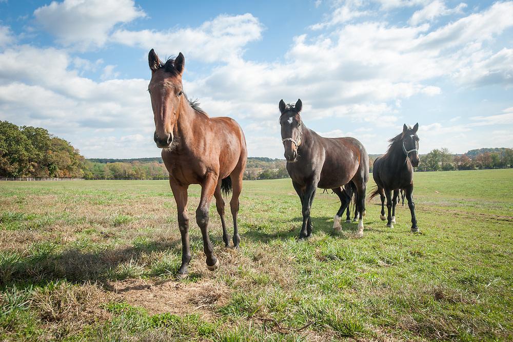 Standardbred horses in pasture<br /> Hanover, Pennsylvania
