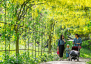 © Licensed to London News Pictures. 11/05/2015. Richmond, UK People enjoy the hot weather in the shade of the laburnum in the ornamental gardens at Richmond Park, West London, today 11th May 2015. Photo credit : Stephen Simpson/LNP