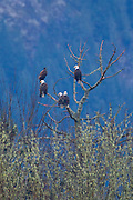 Five bald eagles (Haliaeetus leucocephalus) - four adults and one juvenile - rest near the top of a snag along the Skagit River in the North Cascades of Washington state. Hundreds of bald eagles visit the area every winter to feast on the carcasses of spawning salmon.