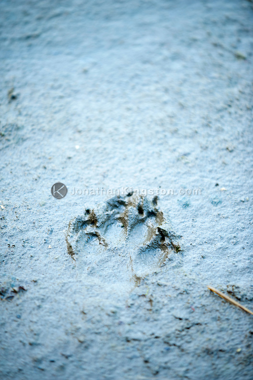 Footprint of a gray wolf (Canis lupus) in the mud in Alaska.