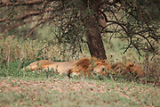 Lion King sleeping, Lion brothers