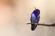 A Costa's Hummingbird in a pensive moment, California, North America.