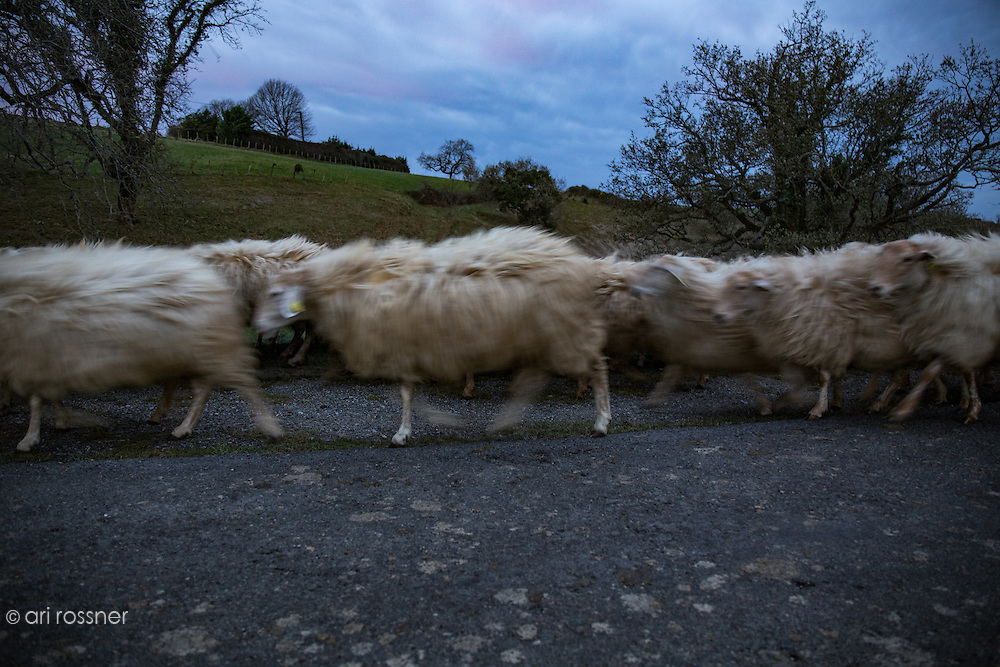 Sheep going to the sheepfold for the night