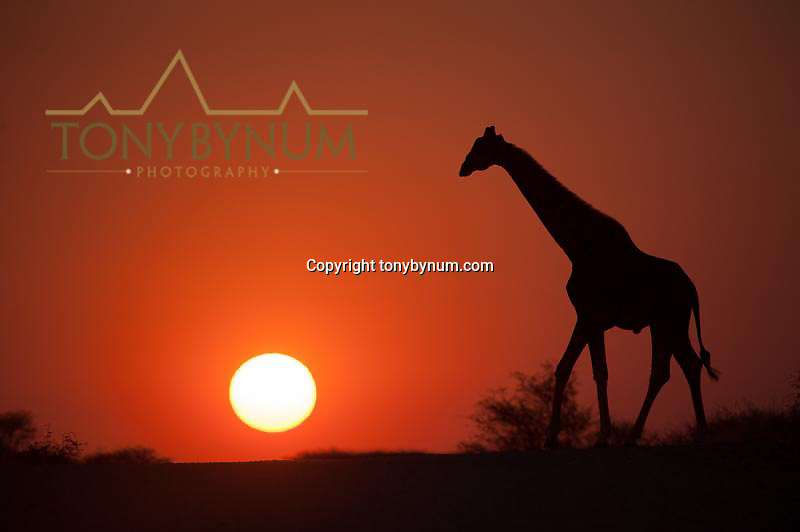giraffe walking in front of the rising sun namibia africa