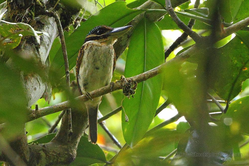 Hook-billed Kingfisher, Melidora macrorrhina, in tree, Papua New Guinea, by Markus Lilje