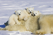 Polar Bear<br /> Ursus maritimus<br /> 3-4 month old triplet cubs on top of their mother after mother is anesthetized by polar bear biologists <br /> Wapusk National Park, Canada