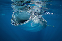 Whale sharks feed by filtering thousands of liters of water through their gills and extracting the plankton that is contained in it. This shark has found a particuarly rich patch of plankton and is trying to extract as much of the food as possible by opening its mouth as wide as it can.