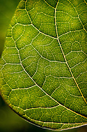 Morning sunlight filters through bright green veins and cells of heart-shaped redbud leaves