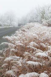 Hoar frost on bracken by a road. Pteridium aquilinum
