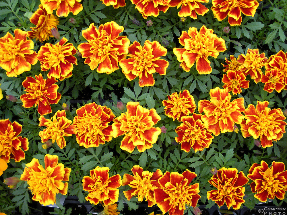 Orange and Yellow Chrysanthemums