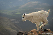 Mountain Goat<br /> Mount Evans Wilderness, Colorado<br /> <br /> This young kid still depends on its mother's milk for sustenance, unlike its mother which forages on grasses, sedges, forbs, shrubs, and even lichens.<br /> <br /> Edition of 500