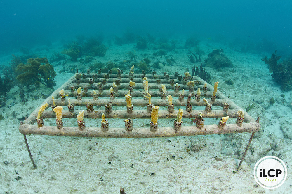Within the Sian Ka'an Biosphere Reserve, scientist find coral fragments within the coral reef and transplant them into a coral nursery.  When the corals grow larger they will move the corals to the their original location.  This method is aimed at repopulating the reef with healthy coral species.