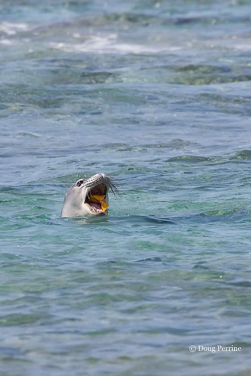 Hawaiian monk seal, Monachus schauinslandi, feeding on yellow tang, Zebrasoma flavescens, Kahaluu Beach Park, Kahalu'u Beach, Kailua Kona, Hawaii Island ( the Big Island ) Hawaiian Islands ( Central Pacific Ocean )