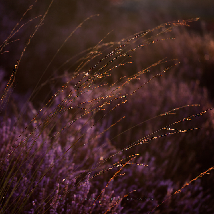 Detail of the heather at Westleton Heath