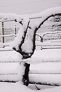 Winter snow over dormant pinot noir vine at Bella Vida vineyard, Dundee Hills AVA, Willamette Valley, Oregon