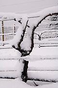 Winter snow over dormant pinot noir vine at Bella Vida vineyard, Dundee Hills AVA, Willamette Valley, Oregon