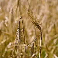 Barley grain, ready for harvest (Hordeum vulgare)