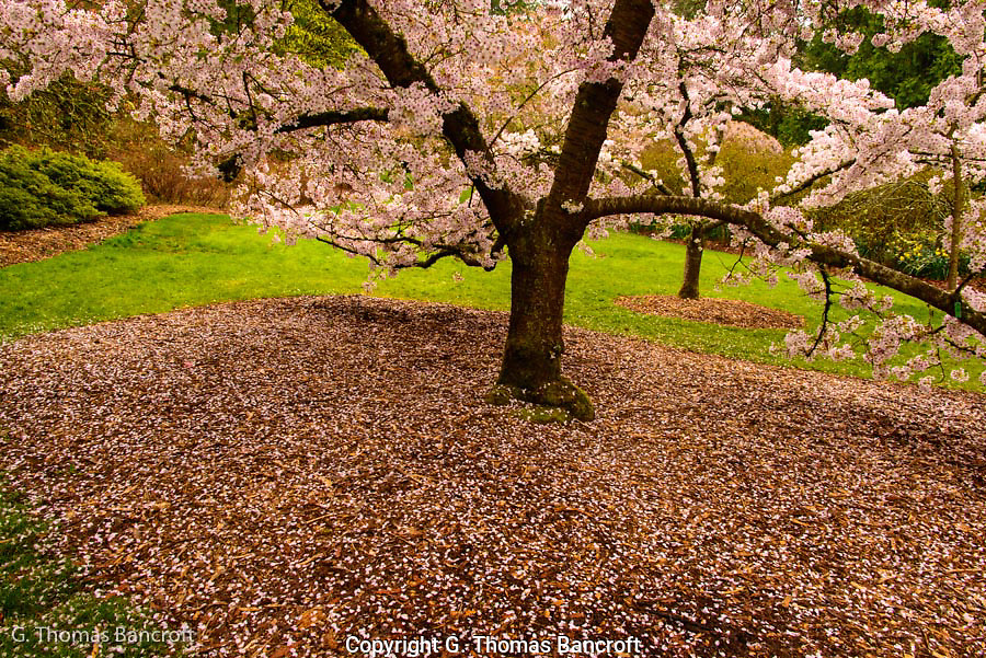 Flower pedals floated slowly down to join those already blanketing the ground under this cherry tree,