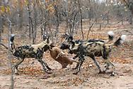 Drei Afrikanische Wildhunde (Lycaon pictus) haben ein Steinb&ouml;ckchen (Raphicerus campestris) erbeutet, Schutzgebiet Sabi Sands, S&uuml;dafrika<br /> <br /> Three African wild dogs (Lycaon pictus) preyed on a steenbok (Raphicerus campestris), private game reserve Sabi Sands, South Africa