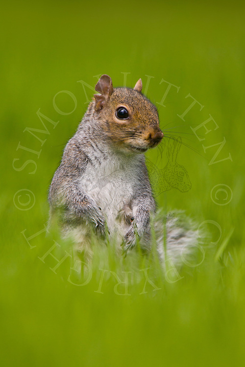 Eastern Grey Squirrel (Sciurus carolinensis) adult in grass, England