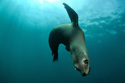 Califonian sea lion (Zalophus californianus), photographed off La Paz, Mexico.