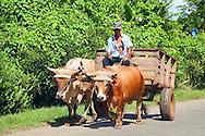 Oxen near Jamal, Guantanamo Province, Cuba.