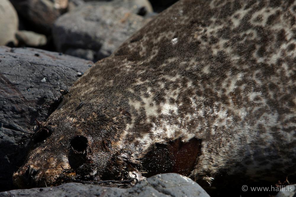 Dead seal near Ytri Tunga in Snaefellsnes, Iceland - Dauður selur við Ytri Tungu á Snæfellsnesi