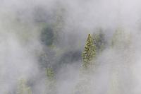 European larch tree, Larix decidua, Malbun, Lichtenstein