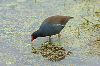 Common Moorhen, (Gallinula chloropus), Wakodahatchee Wetlands, Delray Beach, Florida, USA   Photo: Peter Llewellyn