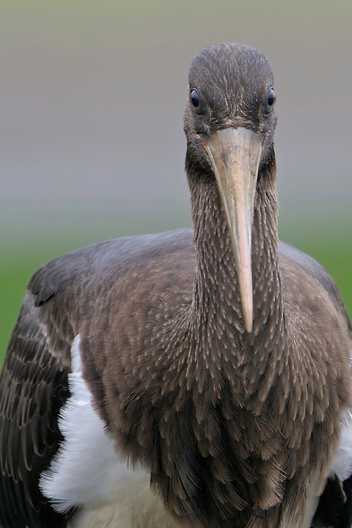 Mission: Black Storks River Elbe Germany; Biosphärenreservat Niedersächsische Elbtalaue; Schwarzstorch; Black Stork; Ciconia nigra; juvenil; Biosphere Reserve Middle Elbe