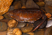 vietnamese big headed turtle, Platysternon megacephalum, sapa vietnam