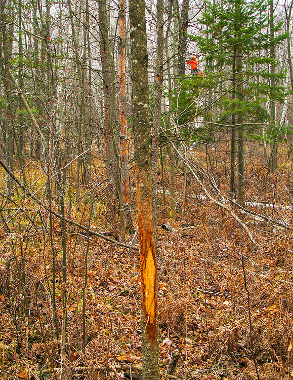 Deer rub damage on young tree, Hunter in stand in background