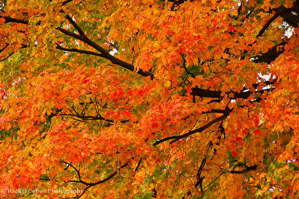 &quot;Fall Fiesta&quot;<br /> <br /> A lovely sweeping branch filled with a fiesta of vibrant fall color on this wonderful Maple tree!!<br /> <br /> Fall foliage by Rachel Cohen