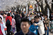 Yeouido Island. Hundreds of Thousands of Seoulites enjoy the Cherry Blossom in Yunjungno, the street around the National Assembly lined by cherry trees which has been cleared from traffic for these days. A big hit are self-portraits with mobile phones' built-in digicams.