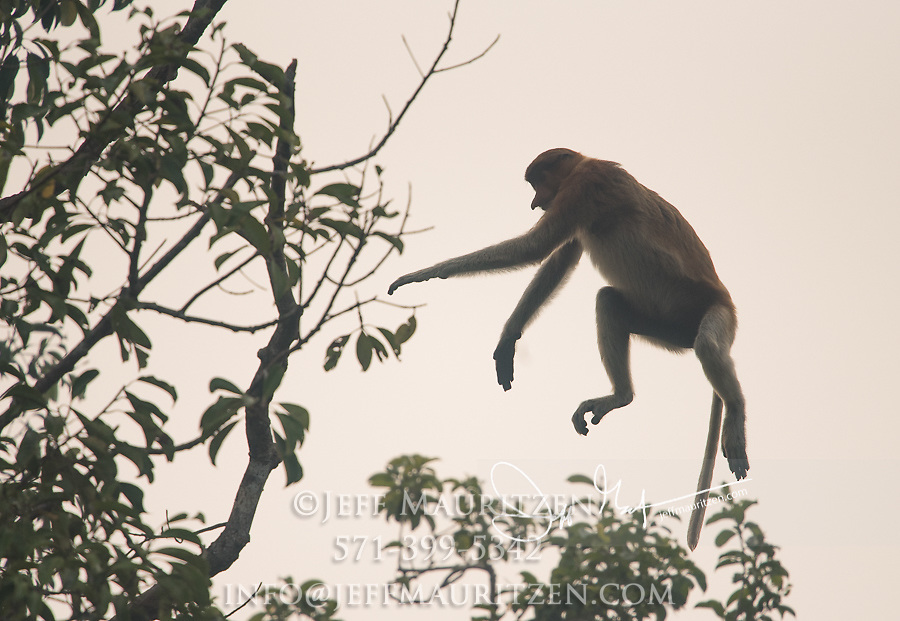 A proboscis monkey leaps from a tree in Tanjung Puting National Park on the island of Borneo, Malaysia.