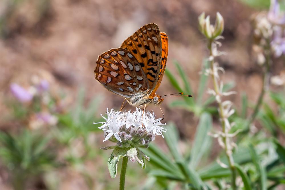 Speyeria e. egleis (Great Basin Fritillary) at Sherman Pass, Tulare Co, CA, USA, on Mountain pennyroyal 03-Jul-08